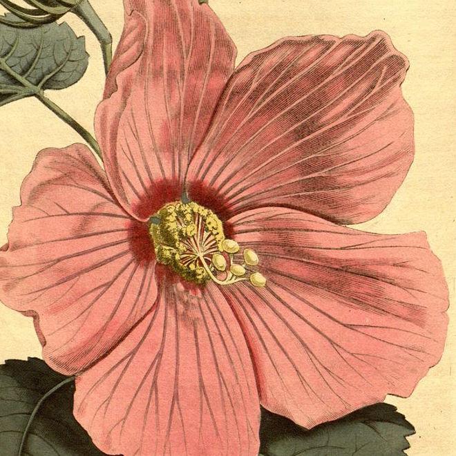 curtiss_botanical_magazine_10594232435
